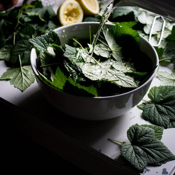 Washing blackcurrant leaves